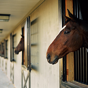 horses looking out of their barn stalls